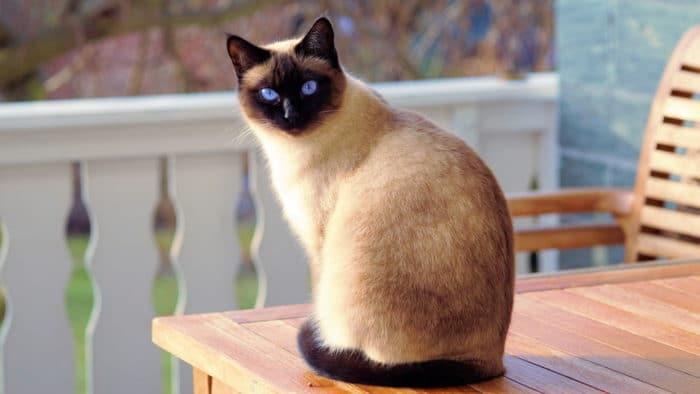 как назвать сиамскую кошку