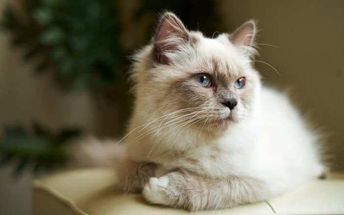 имена для сиамских кошек