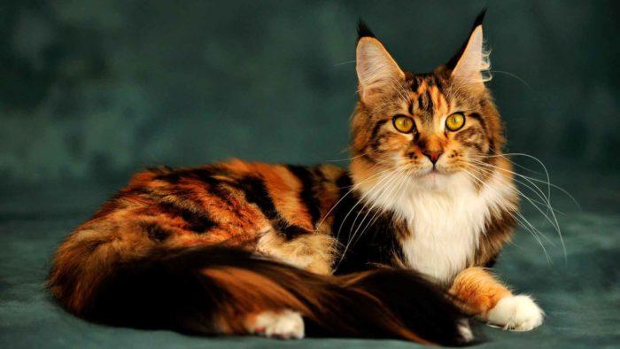 Брак кошки с енотом или рысью
