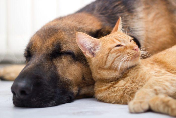 Может ли собака заразиться коронавирусом от кота