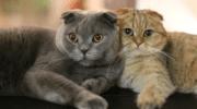 Чем отличается шотландская кошка от британской