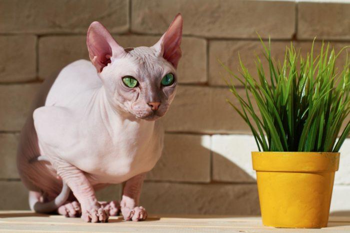 Кот-сфинкс