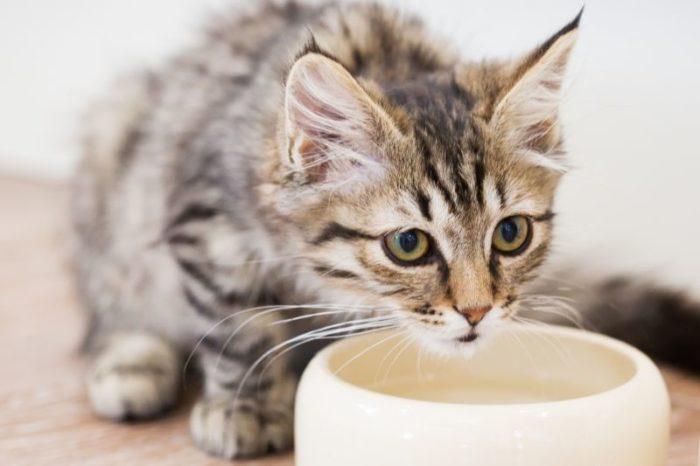 чем кормить мейн куна котенка