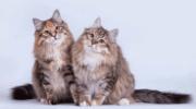 Как правильно отличать сибирского котенка от обычного