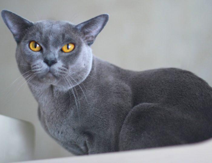 Голубая окраска бурманской кошки