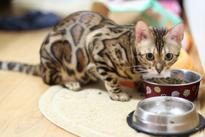 Чем кормить бенгальского котенка