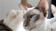 Грузинские коты ориенталы