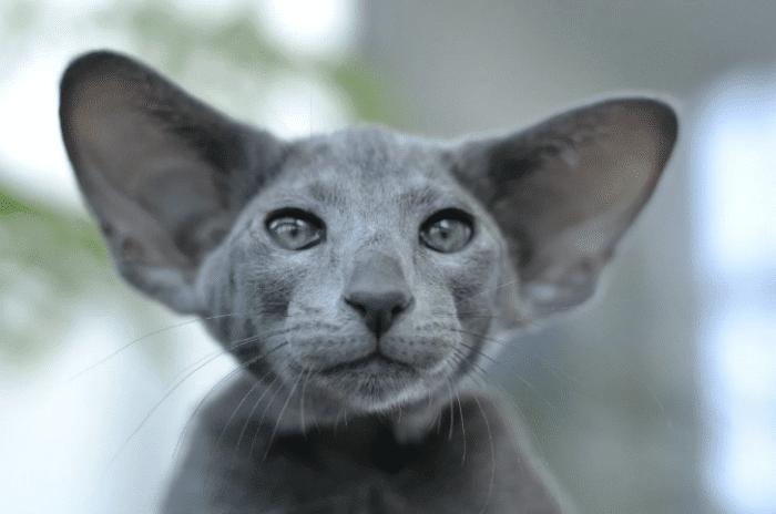 Экстремальный ориентальный кот