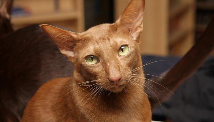 Описание породы кошек гавана браун