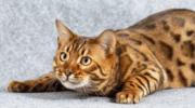 Сколько лет живут бенгальские кошки в домашних условиях