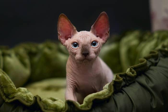 Кормление котенка сфинкса