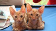 Помесь сфинкса и обычной кошки