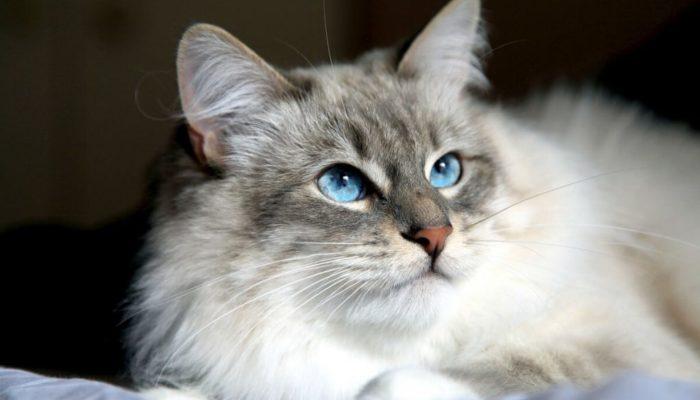 Сколько лет живут сибирские кошки в домашних условиях