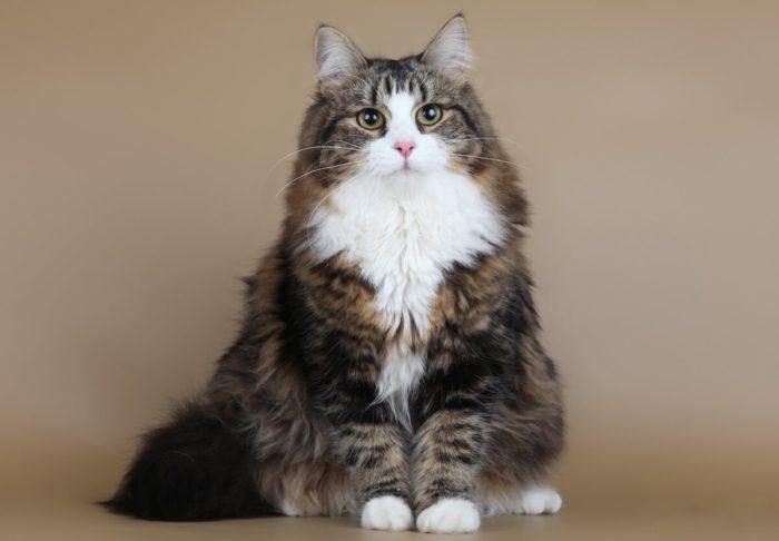 Характеристики породы сибирской кошки