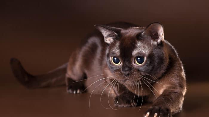 Темно-коричневый соболиный