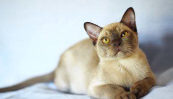 Порода бурманской кошки соболиного окраса