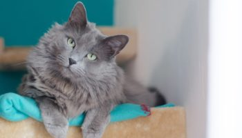 Характер и описание сибирской голубой кошки
