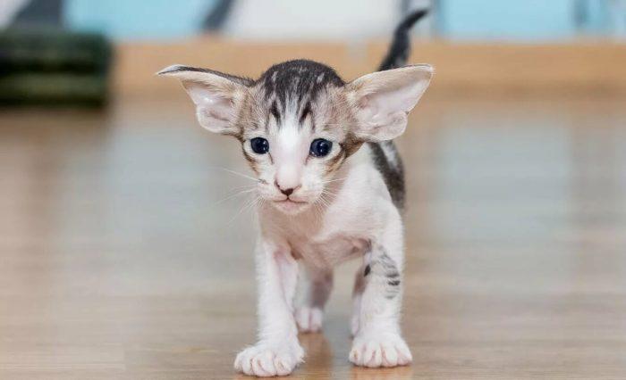 Ориентальный котенок-компаньон