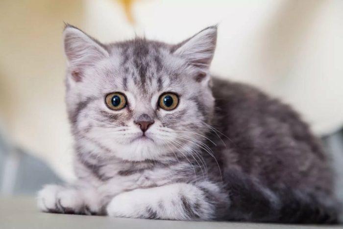 Порода вислоухих кошек вес
