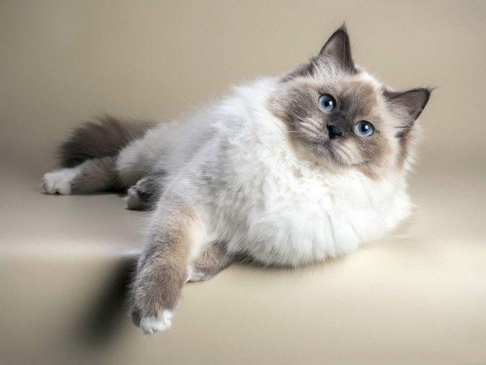 Описание невской маскарадной кошки