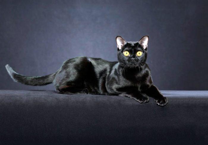 Черная шерсть бурманской кошки