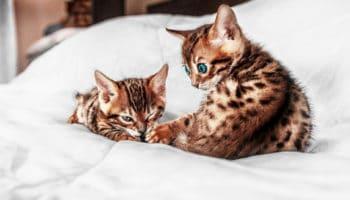 Как правильно выбрать бенгальского котенка