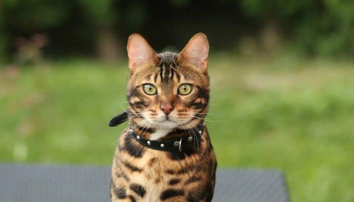 Клички для бенгальских котов и кошек