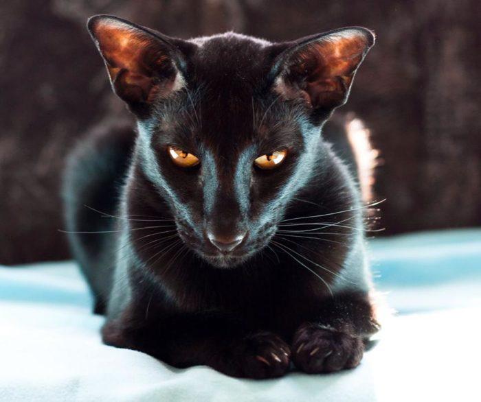 Черный или белый ориентальный кот