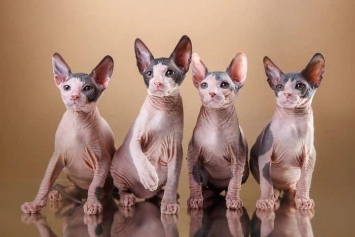 Виды кошек породы сфинкс