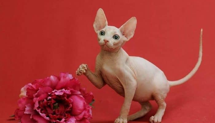 Уход и содержание кошек породы сфинкс