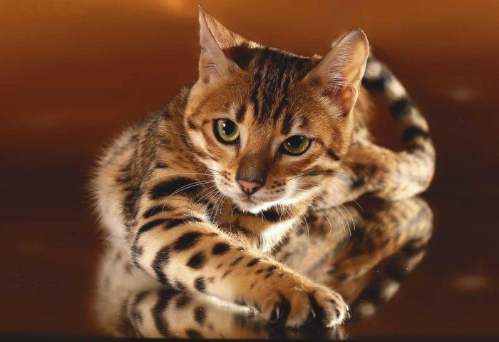 Как разводить бенгальских кошек