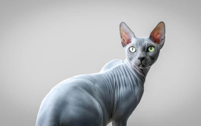 Описание породы кошек египетский сфинкс