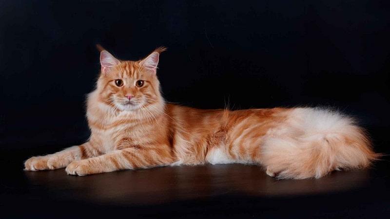 13 самых больших пород кошек в мире