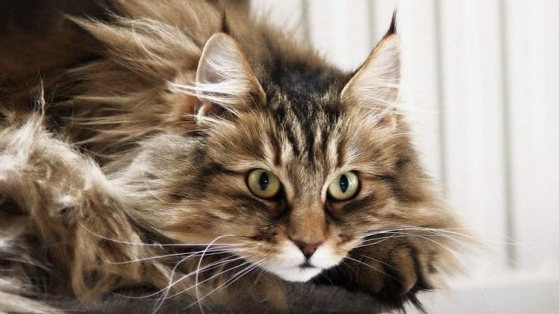 8 пород кошек похожих на рысь