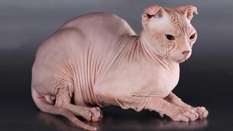 Кошка левкой - украинский сфинкс