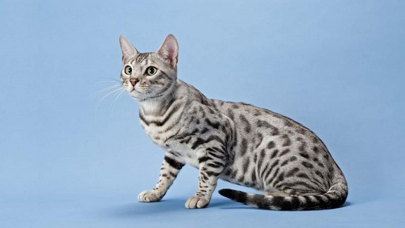 Кот как леопард - что это за порода?