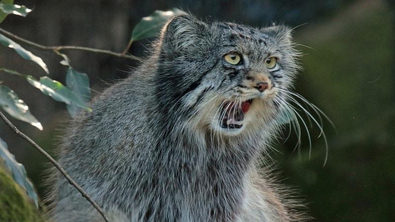 Кот манул в домашних условиях - опасный зверь или питомец?