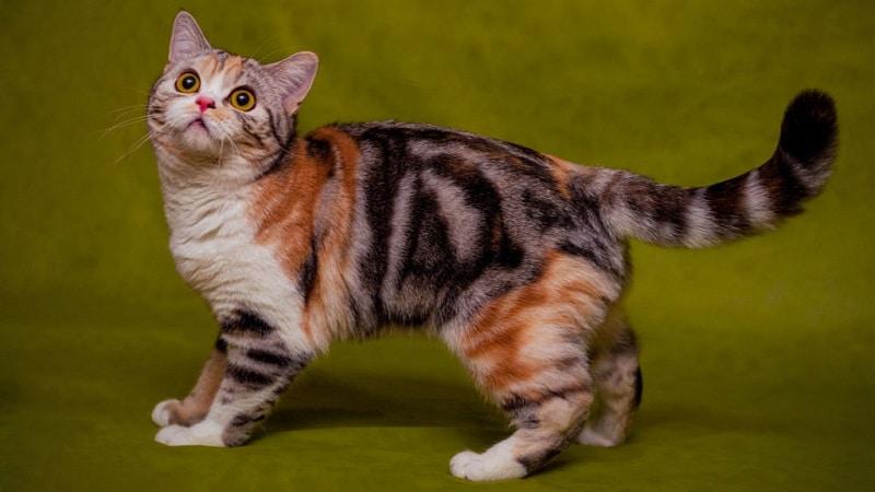 100% методика как узнать породу любой кошки