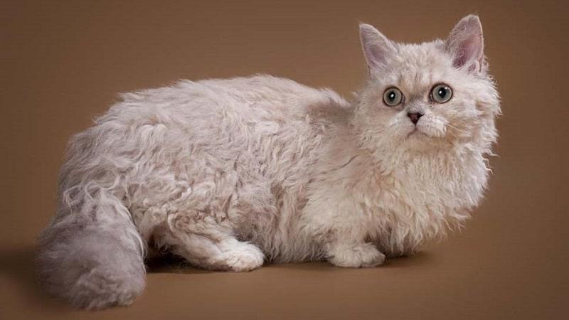 Самые маленькие породы кошек в мире