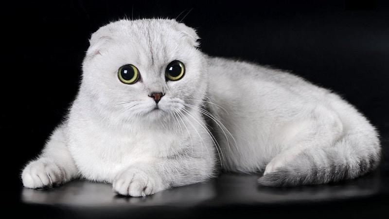 Самые ручные, добрые и ласковые породы кошек