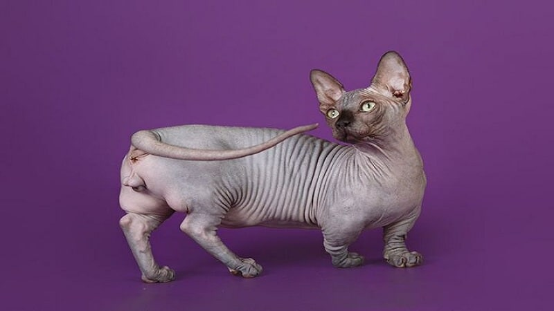 Породы кошек без шерсти