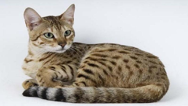 Самые красивые породы кошек в мире