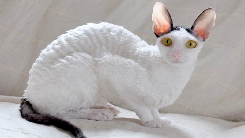 Нелиняющие породы кошек - реальность или миф?