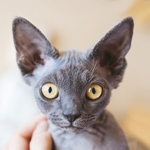 Кудрявый кот - необычная порода