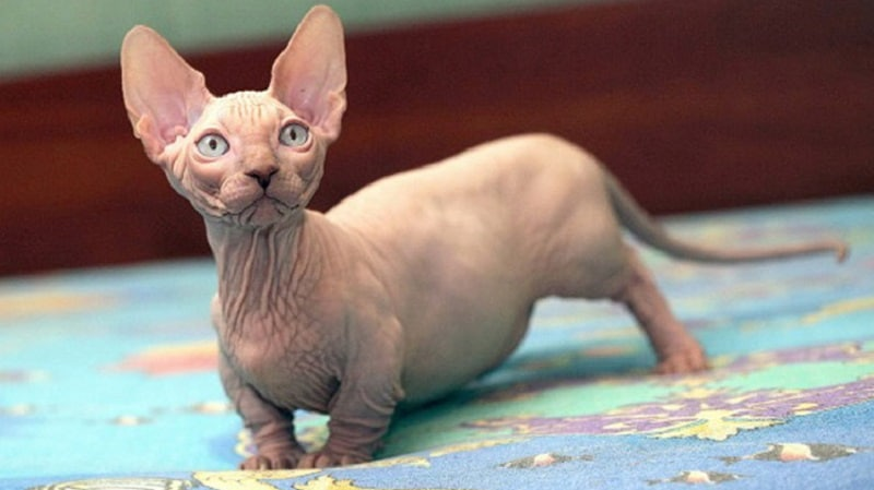 Кошки с короткими лапами - забавная порода