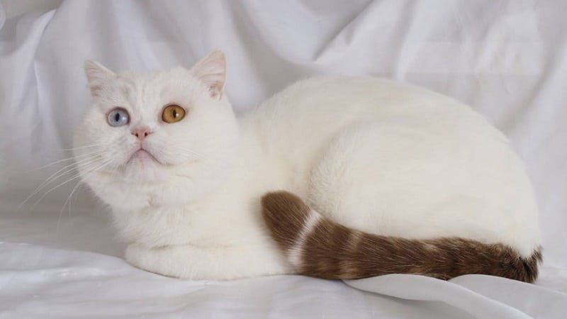Белый кот с разными глазами - интересная порода или мутация?