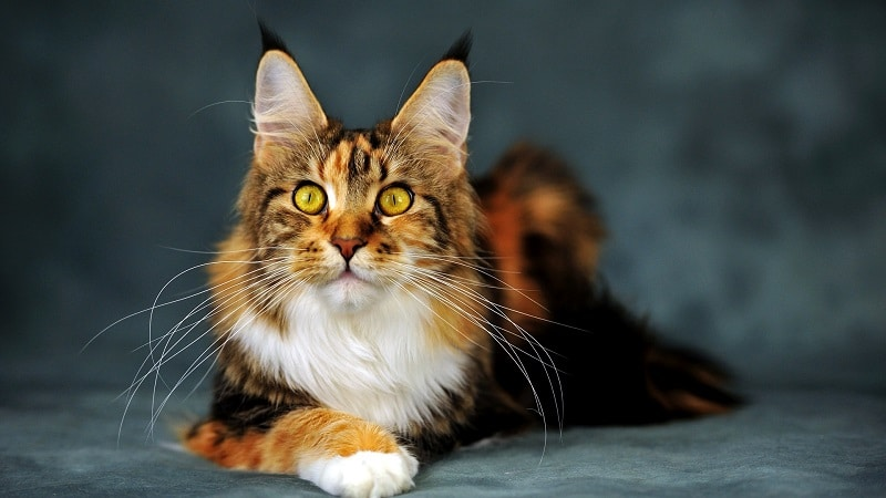 Породы кошек для детей