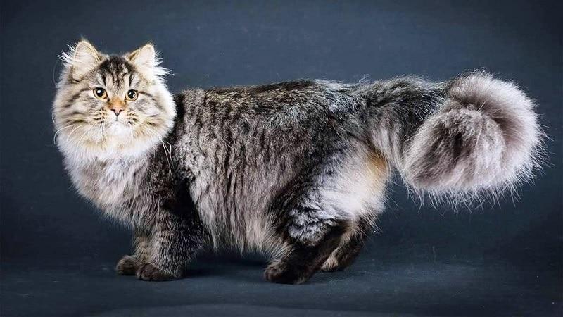Рейтинг самых умных пород кошек в мире