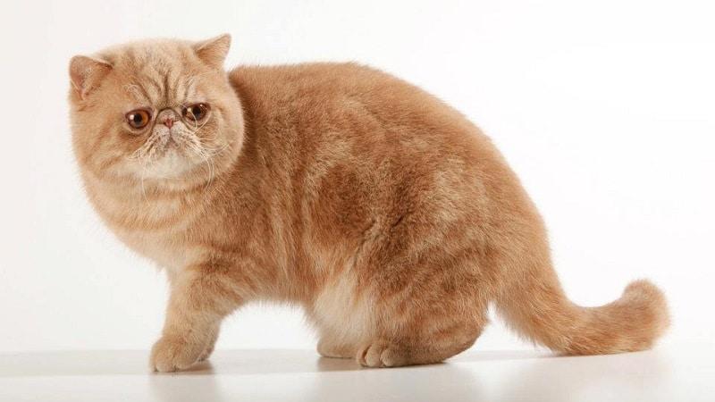 Лучшие породы рыжих котов: обзор и фото