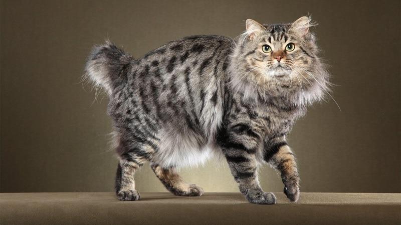 Обзор лучших пород серых кошек и особенности их содержания